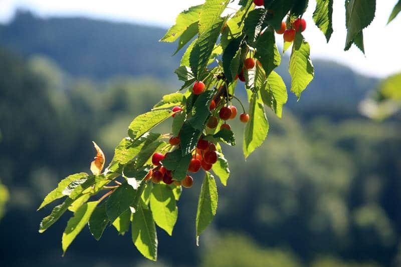 Kirschen von unseren Streuobstwiesen zur Herstellung vom Schwarzwälder Kirschwasser