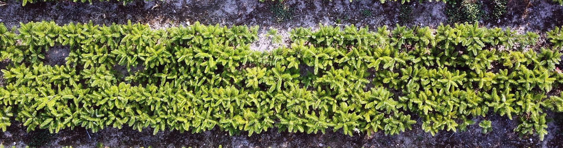 Tannenbaumplantage von oben