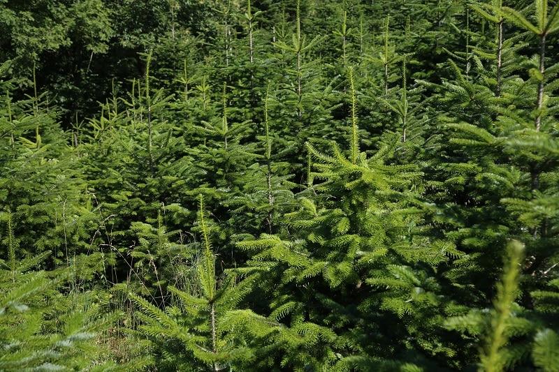 Tannenbaumplantage